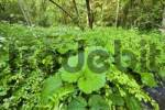 Thumbnail alluvial forest at Isar river Upper Bavaria Germany