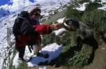 Thumbnail Woman feeding peanuts to an Alpine marmot Marmota marmota near Saas Fee Switzerland