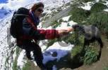 Thumbnail Woman feeding carrots to an Alpine marmot Marmota marmota near Saas Fee Switzerland