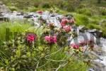 Thumbnail rustbladet alperose Rhododendron ferrugineum Tyrol Austria