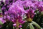 Thumbnail Munich, DEU, 21. May 2005 - Rhododendron Hybrids - Roseum Elegans