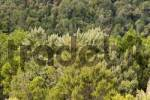 Thumbnail Erica arborea National park Garajonay La Gomera Canary Islands