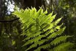 Thumbnail fern in National park Garajonay La Gomera Canary Islands