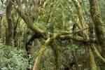 Thumbnail laurel forest National park Garajonay La Gomera Canary Islands