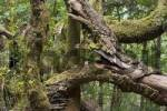 Thumbnail laurel forest National park Garajonay La Gomera Canary Islands