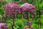 Thumbnail flowering joe pye weed Eupatorium purpureum