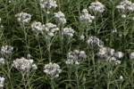 Thumbnail flowering pearly everlasting Anaphalis margaritacea