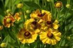 Thumbnail flowering sneezeweed Helenium Hybride