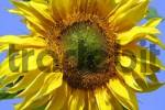 Thumbnail common sunflower - blossom close up Helianthus annuus