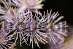 Thumbnail Columbine-leaved meadow rue, Thalictrum aquilegifolium