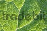 Thumbnail leaf of butterbur, Petasites hybridus