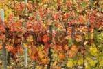 Thumbnail near Barbaresco Alba vinyards with autum leaves Piedmont Piemonte Italy