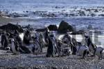 Thumbnail Penguins at Boulders Beach in Simonstown South Africa