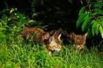 Thumbnail Wildcats Felis silvestris