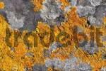 Thumbnail Common orange lichen Xanthoria parietina Canary Islands - La Gomera
