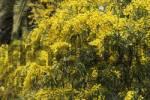 Thumbnail Golden Wreath Wattle Acacia saligna Canary Islands - La Gomera