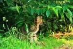 Thumbnail wild cat