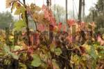 Thumbnail near Tigliole west of Asti Piedmont Piemonte Italy wine yard in autumn fall