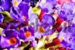 Thumbnail Butterfly Bush Buddleia Davidii