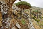 Thumbnail Dragons Blood Tree on Homhil Plateau, Sokotra island, UNESCO-World Heritage Site, Yemen