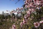 Thumbnail blooming almond tree Tenerife Canary Islands Spain