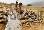 Thumbnail Dragons Blood Tree on Socotra island, UNESCO-World Heritage Site, Yemen