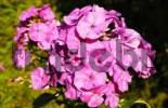 Thumbnail Pink flower of phlox paniculata, Polemoriaceae growing in rustic garden
