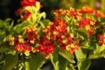 Thumbnail Tropical lantana plant with splenid flowers, Lantna amata, Verbenaceae