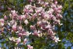 Thumbnail Magnolia Germany