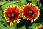 Thumbnail flowering gaillardia with honey bee - blanket flower Gaillardia x grandiflora Kobold