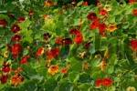 Thumbnail flowering nasturtium Tropaeolum majus