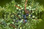 Thumbnail common juniper - branch with fruits - juniper berrys Juniperus communis - Lueneburg heath, Lower Saxony, Germany,