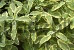 Thumbnail Sage Salvia
