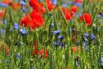 Thumbnail Colourful grain field with poppy flowers Papaver rhoeas and corn flowers Centaurea cyanus, island Ruegen, Mecklenburg-Vorpommern, Baltic Sea, Germany