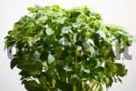 Thumbnail Fresh kitchen herbs, french basil
