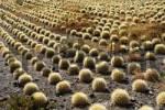 Thumbnail cactus plantations in Aldea de San Nicolas, Gran Canaria, Spain