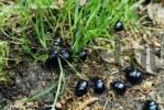 Thumbnail Geotrupidae, foraging