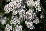 Thumbnail flowering common yarrow - medicinal plant Achillea millefolium ssp. millefolium