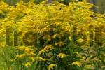 Thumbnail flowering canada goldenrot Solidago canadensis