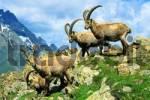 Thumbnail Capra ibex, Pitz Valley, Austria