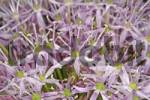 Thumbnail blossoms