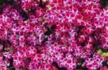 Thumbnail pink flowers, Crete