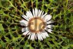 Thumbnail Carline Thistle Carlina vulgaris