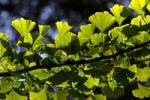 Thumbnail ginkgo - maidenhair-tree - branch with leaves Ginkgo biloba