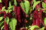 Thumbnail flowering love lies bleeding Amaranthus caudatus