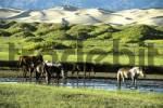 Thumbnail Horses in a river in front of dunes in Gobi Desert Khongoryn Els Gurvan Saikhan National Park Mongolia