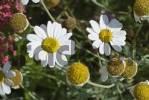 Thumbnail Chamomille Matricaria recutita