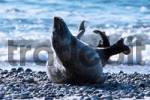 Thumbnail Common Seal Phoca vitulina