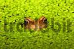 Thumbnail common frog - grass frog sitting in a pond between common duckweeds Rana temporaria Lemna minor