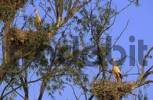 Thumbnail white stork nests in a tree